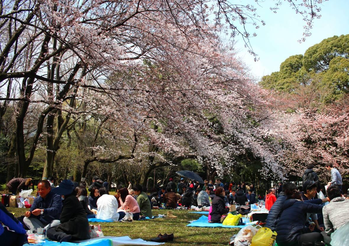 japon hanami.jpg